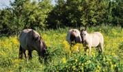 Plants Toxic to Horses